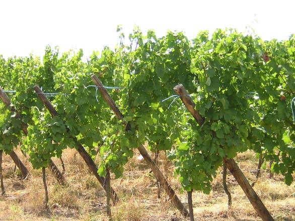 Vino: cresce dell'8% la produzione cooperativa